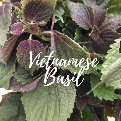 Vietnamese Basil